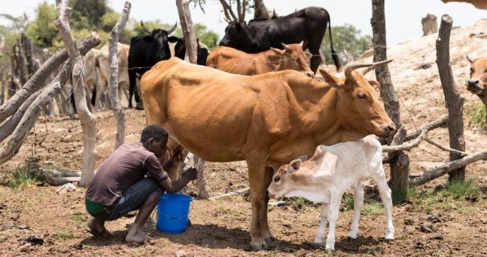 Nutzviehhaltung in Sambia.©GEMEINSAM FÜR AFRIKA