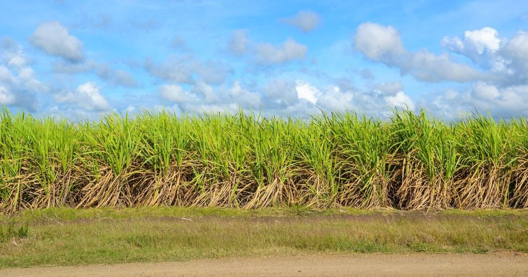 Zuckerrohr, Landwirtschaft