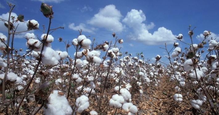 Feld mit reifer Baumwolle_©Gemeinsam für Afrika