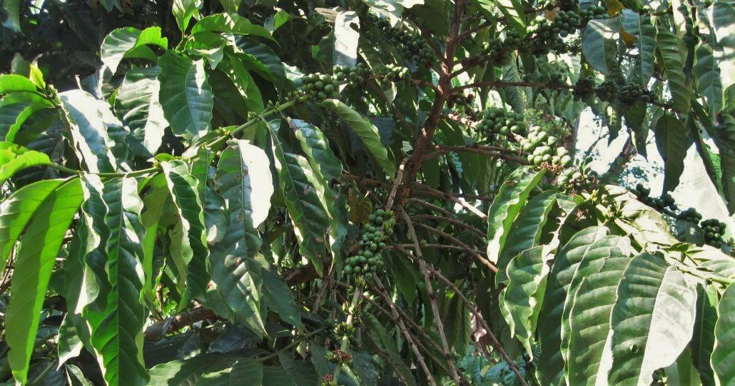 Kaffee in Uganda