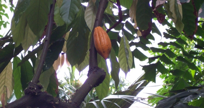 Symbolbild: Kakaobohne