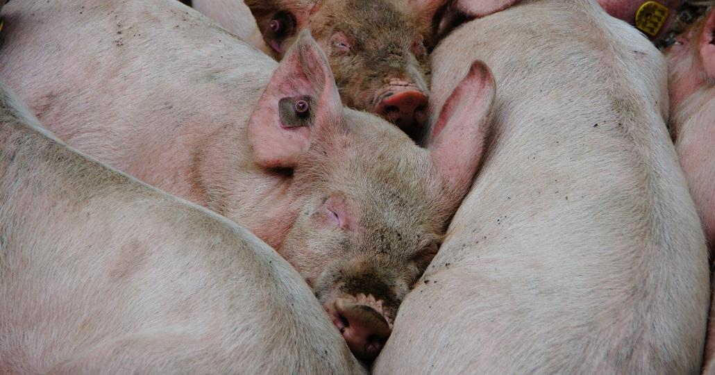 Symbolbild: afrikanische Schweinepest