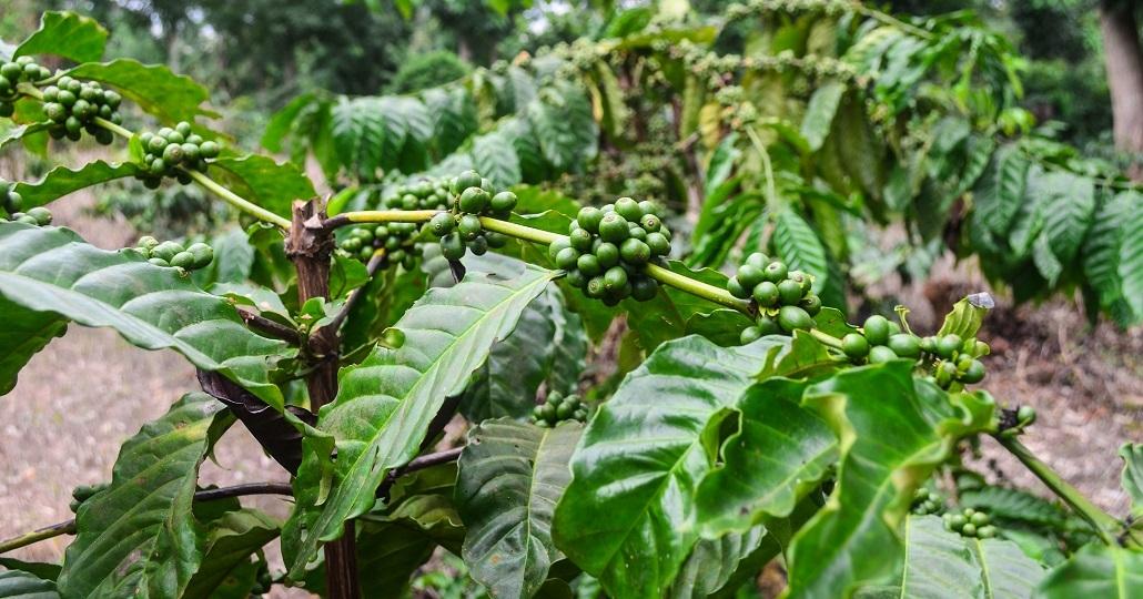Symbolbild: Kaffeplantage